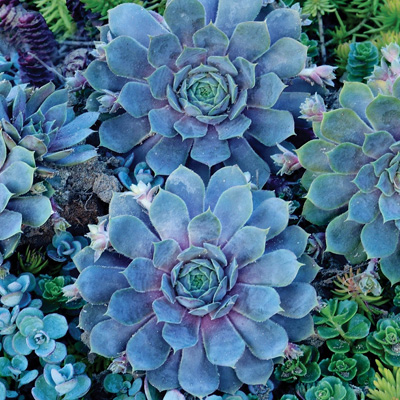 Pacific Blue Hens & Chicks