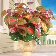 Rainbow Plant Bushes - Set of 3