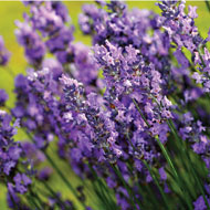 Roll-out English Lavender Flower Mat - 41865
