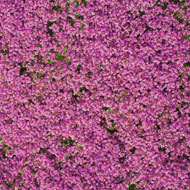 Creeping Thyme Ground Cover Flower Seed Mat - 42000