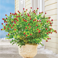 Boxwood with Berries Bush Arrangement - Set of 3 - 44785