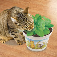 Potted Cat Nip Plant - 45828