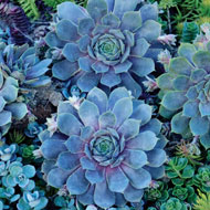 Pacific Blue Hens & Chicks - A2212