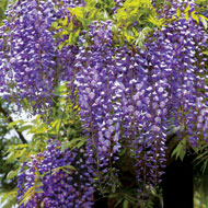 Reblooming Blue Moon Wisteria - A2343